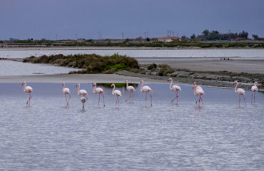 Messolonghi flamingos