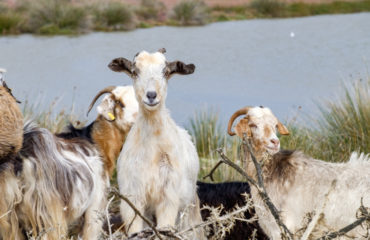goats (1 of 1)