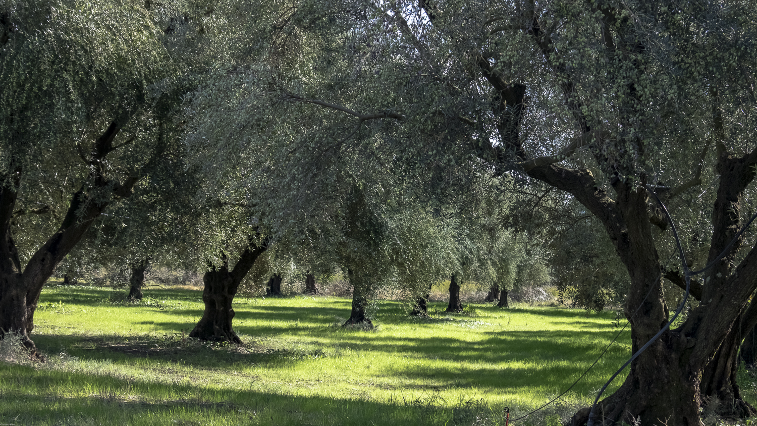 olive grove (1 of 1)-4