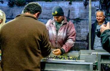 olive hand picking (1 of 1)