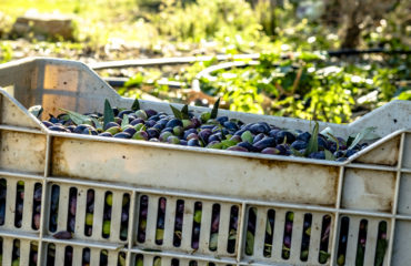 olive picking (1 of 4)