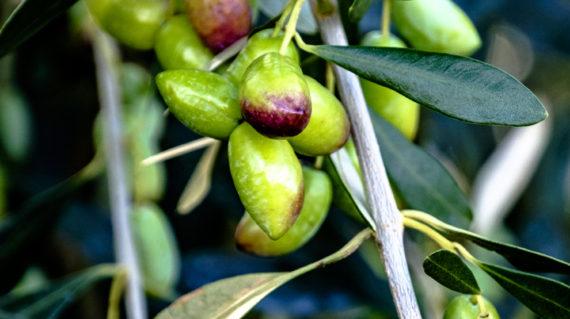 olive variety (1 of 1)